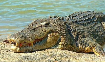 매거진(6 crocodiles).jpg