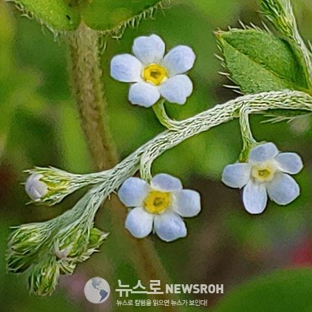 꽃마리.jpg