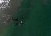 """""""우리 같이 놀아요"""" 바다에서 수영 중이던 여성에게 접근해온 범고래들"""