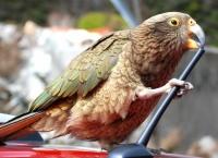 비둘기와 결투(?) 벌인 앵무새 'Kea'