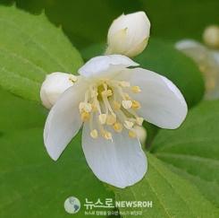 고광나무꽃